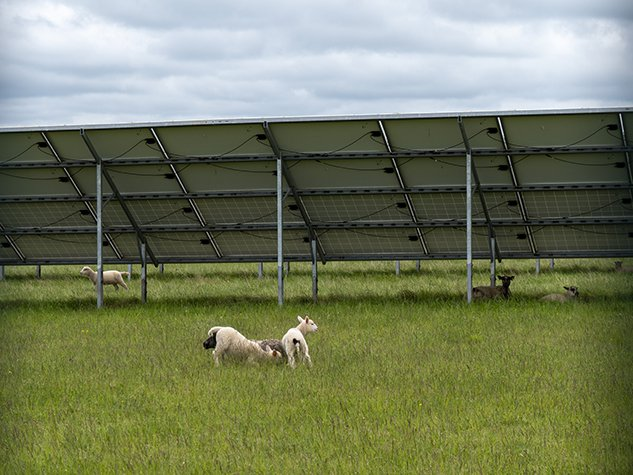 Lambs playing under solar panels